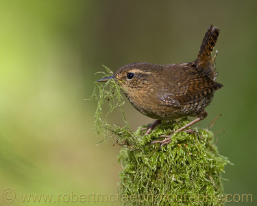 """Winter Wren Thinks Its Spring"" - Multiple Award Winner"
