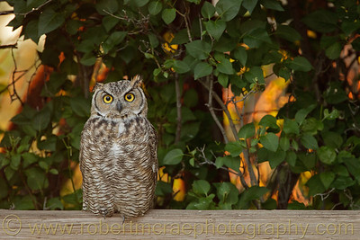 """""""Juvenile Great-horned Owl on a Fence"""""""