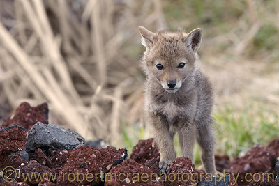 """""""Little Coyote Pup"""""""
