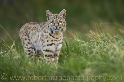 """""""A Young Male Bobcat"""""""