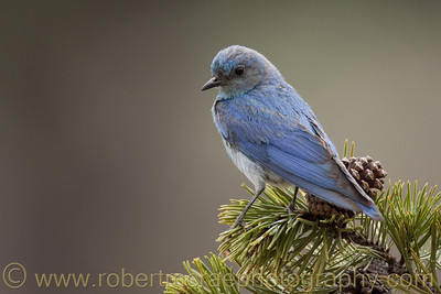 """Mountain Bluebird on Pine"" - Award Winner"