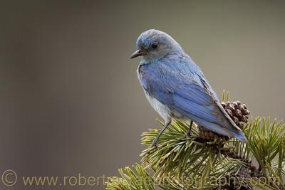 """""""Mountain Bluebird on Pine"""" - Award Winner"""