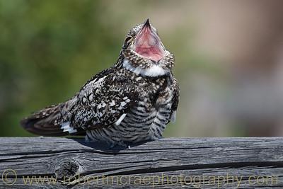 """""""Nighthawk Yawn"""""""
