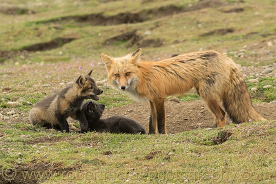 Red Fox vixen and her twp kits.