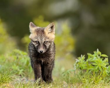 """""""Wet Little Fox Kit"""""""