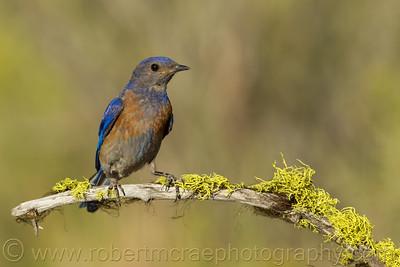 """Western Bluebird"""