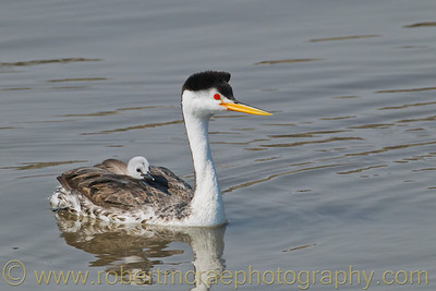 """""""Clark's Grebe with Chick"""""""