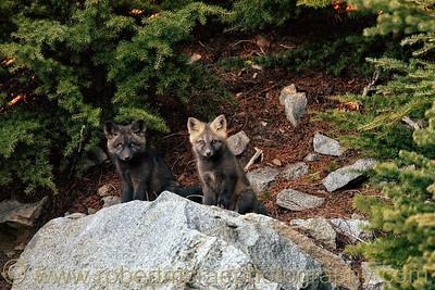 """""""Fox Kits on a Rock"""""""