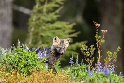"""""""Fox Kit Pauses in the Lupine"""""""