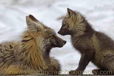 """""""Cascade Red Fox Mom and Kit' - Multiple Award Winner.  I was able to spend some time photographing this Vixen interact with her three Kits when an avalanche limited access to area of their den for a few days."""