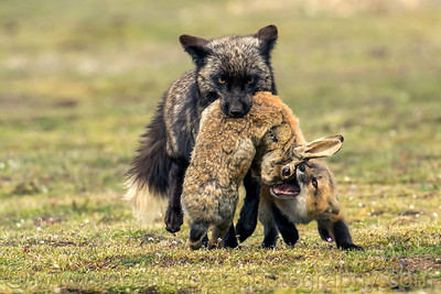 "The mother fox brings a very large rabbit for dinner for her kits.  One kit tries to ""help."" = Award Winner"
