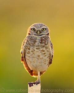 """""""Rim-lit Burrowing Owl on Post"""" - Multiple Award Winner"""