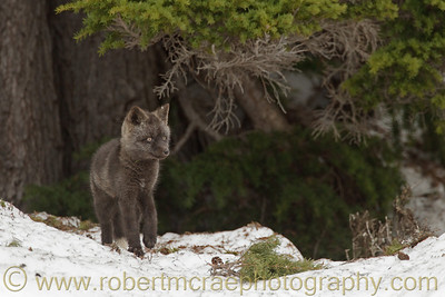 """Silver Fox Kit Near the Den"" - Award Winner"