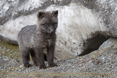 """A Little Silver Fox Kit Waiting for Mom"""