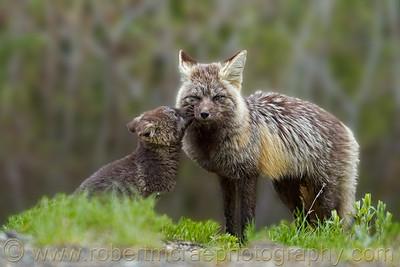 """Little Fox Nuzzles Mom"" - Award Winner"