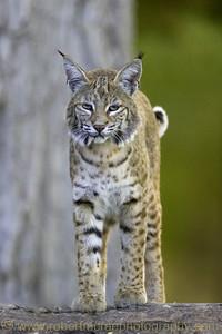"""""""Bobcat on a Rock Wall"""""""