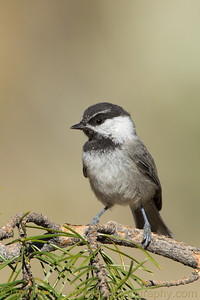 """Mountain Chickadee"""