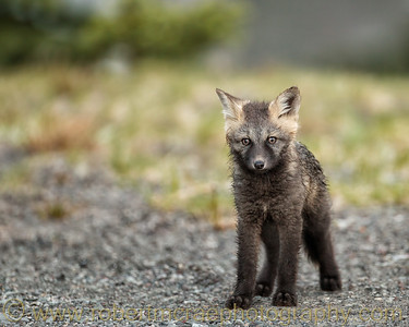 Cautious Little Fox Kit