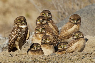 """Eight is Enough!"" - Multiple Award Winner.  I found this Burrowing Owl family on a farm.  It took patience to get all eight chicks sitting together with mom, and looking in the same general direction."
