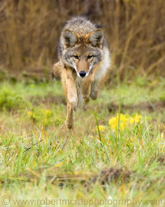 """Coyote Airborne"" Award Winner"