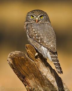 """Northern Pigmy Owl"""