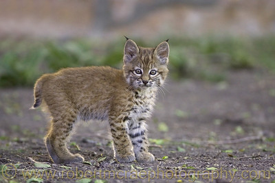 """Bobcat Kitten - Born in the Wild"" - Award Winner  This photo has been included in several publications of Malheur National Wildlife Refuge.  A banner with this image flew at the Reserve's 100th year aniversary parade.  Additionally, items bearing this image are available in the Refuge gift shop."