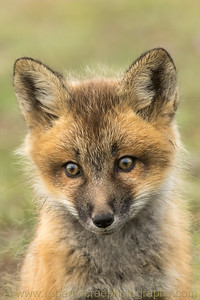 Red Fox kit portrait.