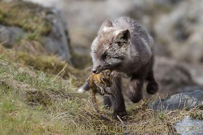 """Little Fox at Play"" - Award Winner"