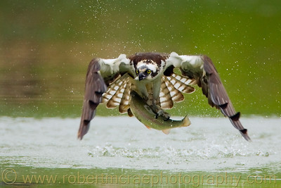 """Fly Fishing"" - Multiple Award Winner  This action photo of an Osprey just out of the water with a large Rainbow Trout is included in the book ""Winning Digital Photo Contests"" by Jeff Wignall, a Lark Books publication."