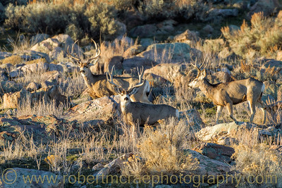 """Three Mule Deer Bucks"""
