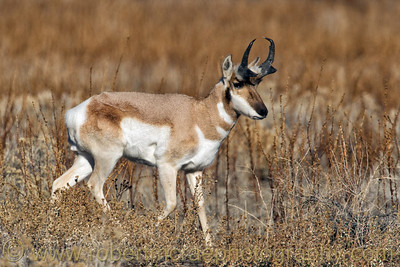 """A Pronghorn at Antelope Island"""