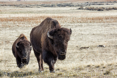 """Two Bison"""