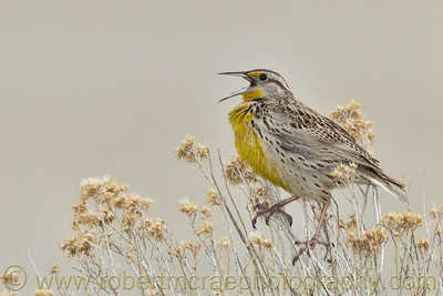 """Singing Western Meadowlark"""