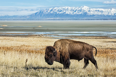 """A Bison and the Wasatch Range"""