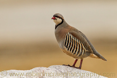 """Chukar on a Rock"""