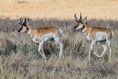 """Pronghorns Running"""