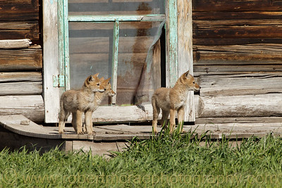 """Coyotes at the Door"""