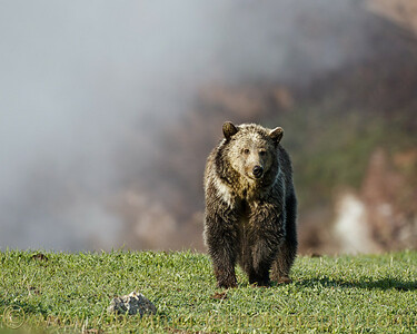 """Grizzly at Steamboat Point"""