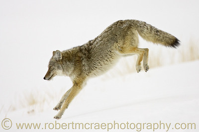 """Coyote Leaping into New Year"" - Award Winner"
