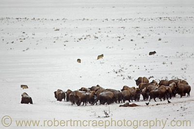 Bison and Wolves