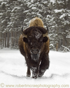 """Bison in Motion"" - Award Winner"