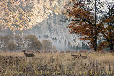 Mule Deer Doe and Two Fawns Near Yosemite Falls