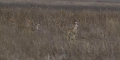 Whitetail Deer (does) Attwater Prairie Chicken NWR