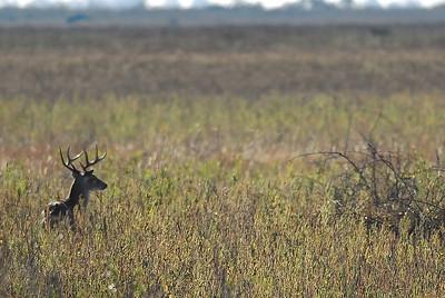 Eight point buck in Attwater Prairie Chicken NWR