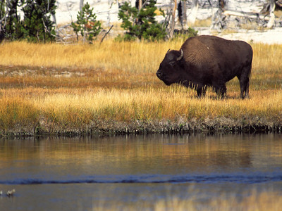 American bison, Yellowstone National Park, copyright 2001