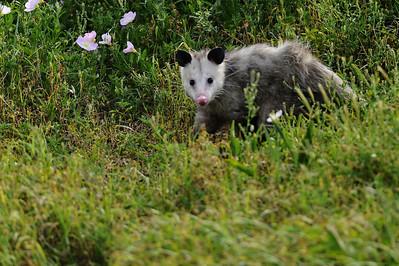Opossum_WCW9902