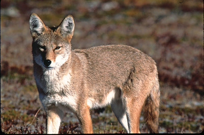 """This Coyote was photographed in Rocky Mountain National Park on the """"top of the world drive""""."""