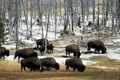 This herd of bison is feeding as the elk watch from the trees.