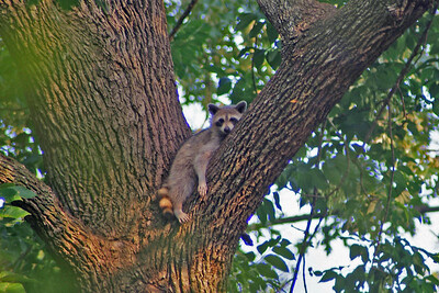 Walking through the HAS Edith L. Moore Sanctuary, I spied this lazy guy hanging around.  He kept watching me and then went back to sleep.