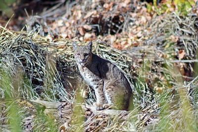 This bobcat was photographed in the Big Morongo Canyon Preserve.